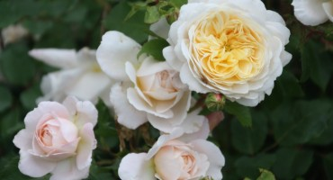 Crocus_Rose.JPG