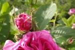 Kummerow - Der Garten der Schwestern